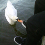 Attacked by Swan